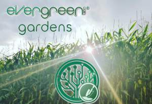 EverGreenCoin Gardens Corn Sunbeams