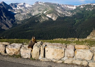 Marmot sunbathing alongside the road