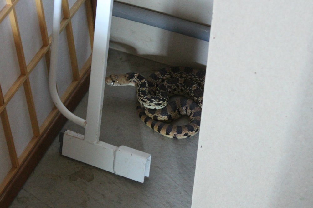 Bull Snake   Garage