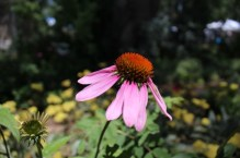 Life Unfiltered - Not my Echinacea-Mine all died after transplant