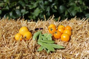 yellow tomatoes and snap peas