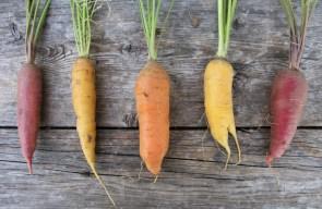 2015 Carrot Harvest 6