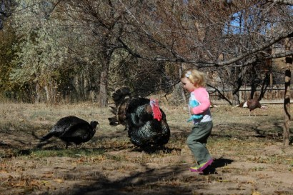 Ember in orchard with turkeys