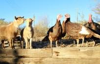 Ethel-Lucy-Turkeys