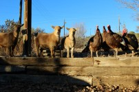 goats and turkeys-all facing