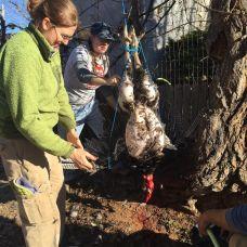 plucking tom 3