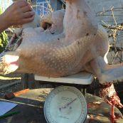 turkey weighing