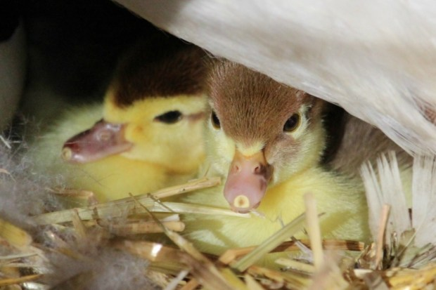 Ducklings - Day 2 (3)