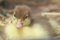muscovy duckling - close up