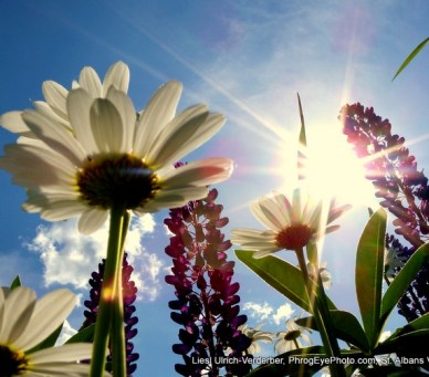 Image: Sunlight rays through daisies