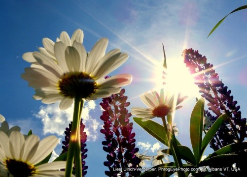 Image: Sunlight rays through daisies
