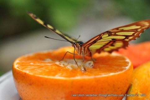 Image: butterfly sipping sweetness