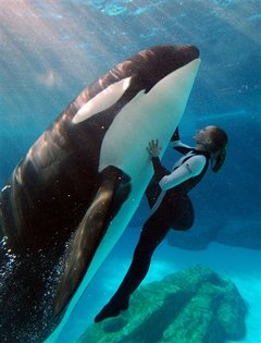 Image: A orca (killer whale) show