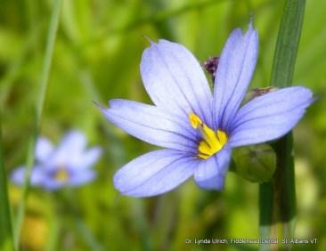 Image: beautiful blue morning star flower