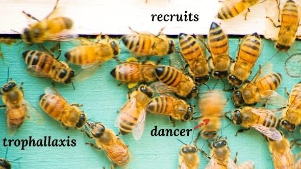 Image: Bee dance