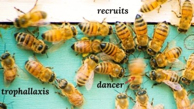 Image: Bees dancing
