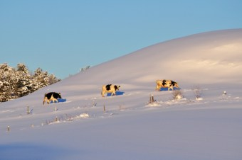 Image: VT cows on a snowy Hill