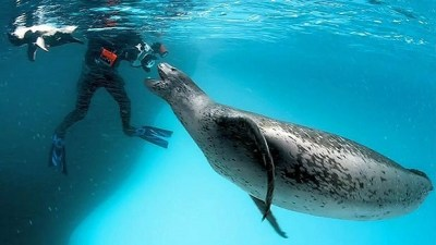 Image: Paul Nicklen and Leopard seal in ice-bound wonderlands