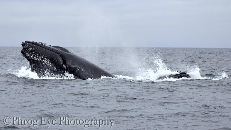 Image: whales bubble net feeding Newfoundland