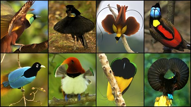 Birds of Papua New Guinea Rainforest