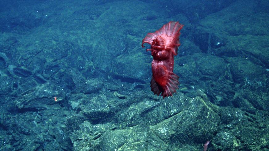 Underwater exploration purple holothurian
