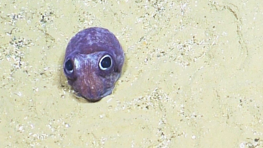 Image: Bobtail Squid