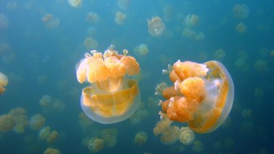 Image: Two Jellyfish