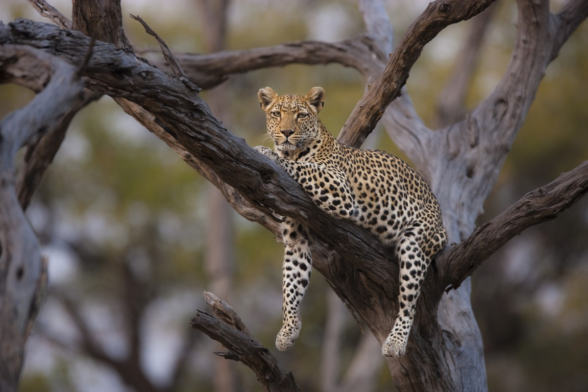 Image: Leopard in a tree Focus expeditions