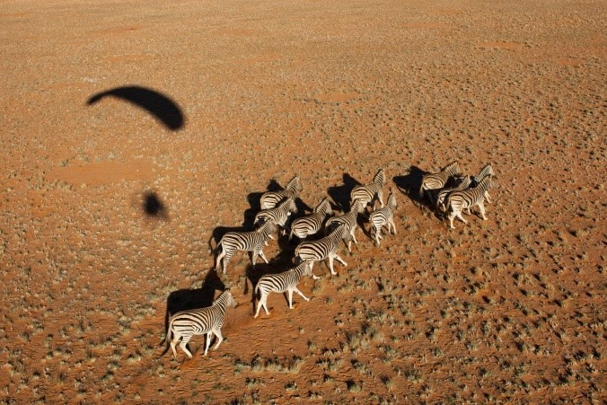 Image: the shadow of the paraglider hangs over a herd of zebra