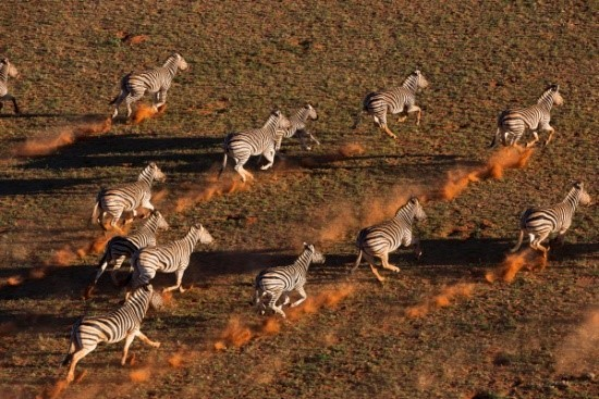 Image: Theo's Zebras kicking up orange dust
