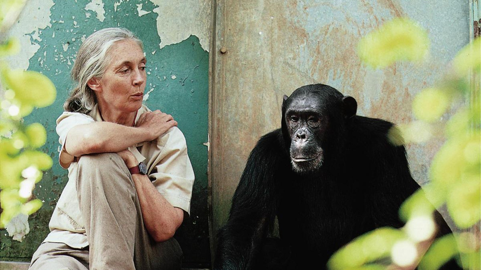 Jane Goodal and David Greybeard, Jane Goodall's Story