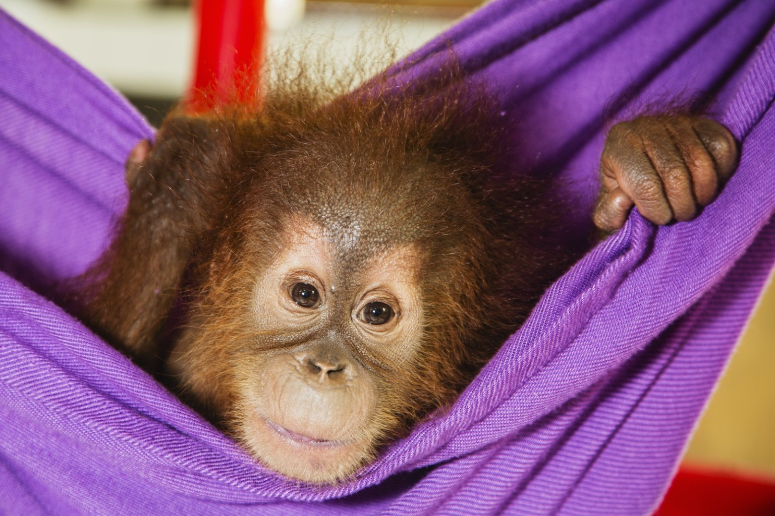 Image: A young critically endangered Sumatran orangutan (Pongo abelii) that was rescued from illegal pet traders after its mother was killed, plays in the quarantine center in Medan where he needs to live until he is old enough to be released safely back into the wild, Medan, Sumatra, Indonesia