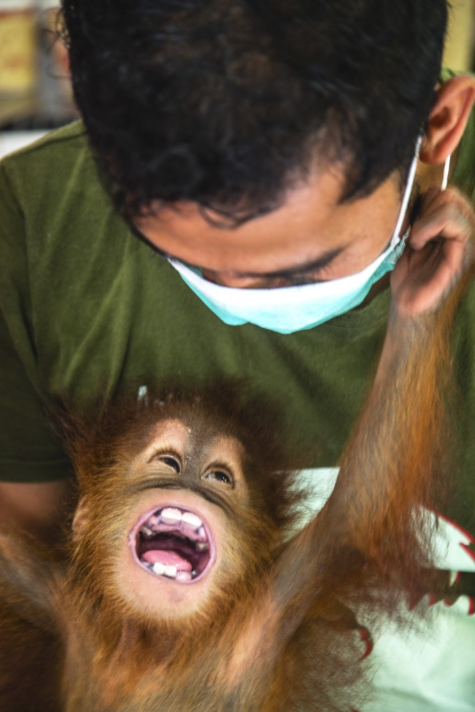Image: A critically endangered Sumatran orangutan infant (Pongo abelii) that was rescued from illegal pet traders after his mother was killed, is now safe and is playfully being naughty with his keeper at the Sumatran Orangutan Conservation Program's Care Center in Medan, where he needs to live until he is old enough to be released safely back into the wild, Medan, Sumatra, Indonesia