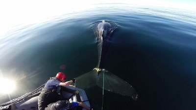 Image: rescuer hangs over the front of a boat cutting the crab trap lines from the whale's tail