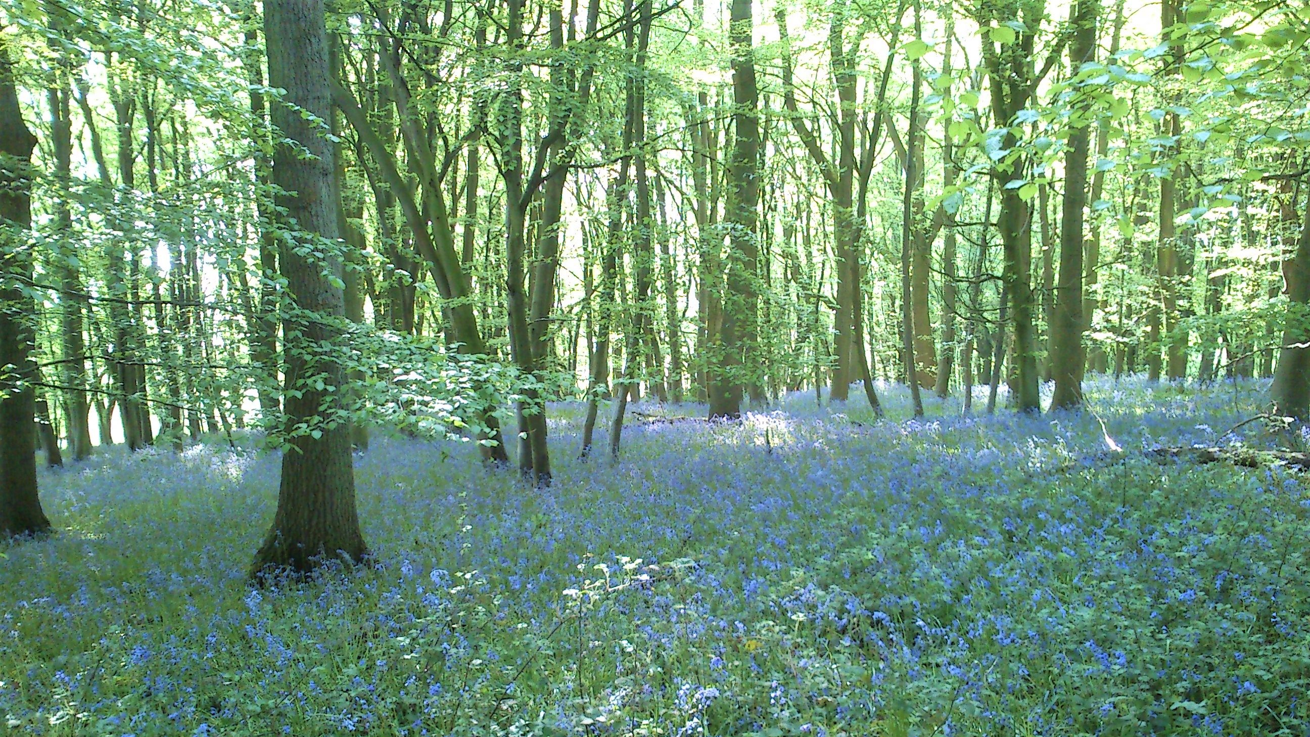 Image: Bluebell flowers in bloom in Wytham Woods