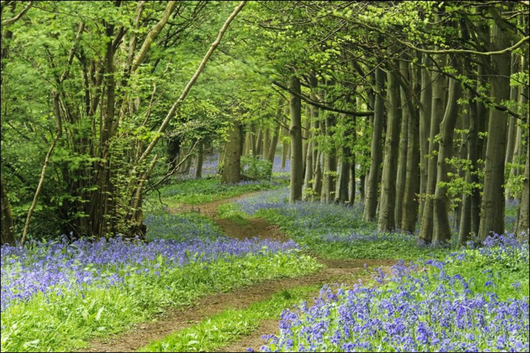Wytham Woods path with flowers in bloom