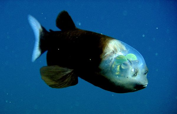 deep sea oddities: barreleye fish