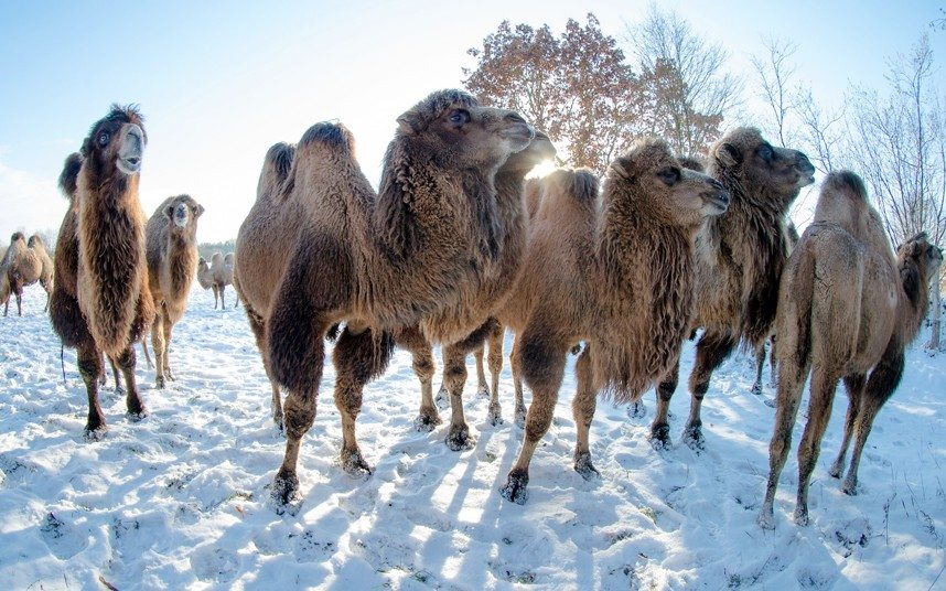 Image: Camels in the snow