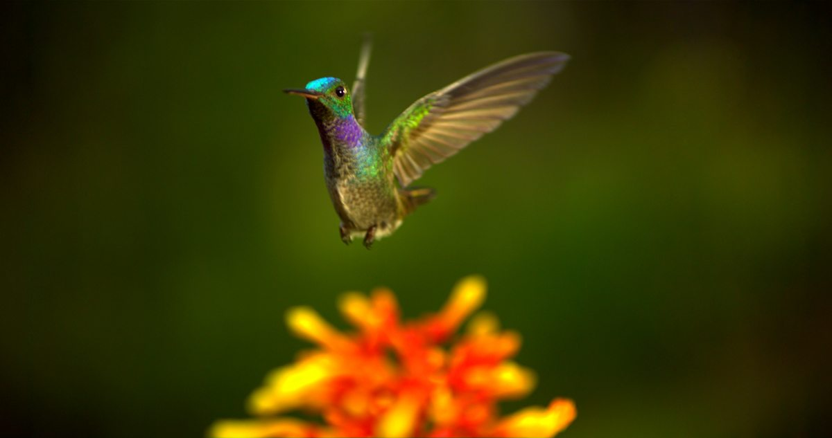 Image: hummingbird the beauty of pollination