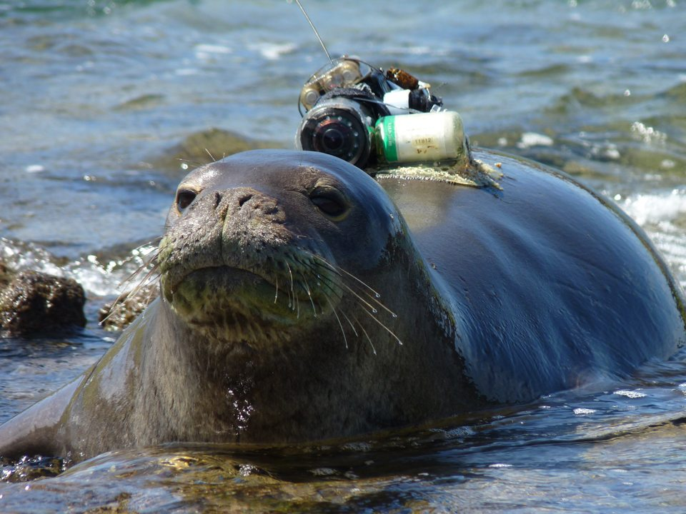 Crittercam on the back of a Monk Seal