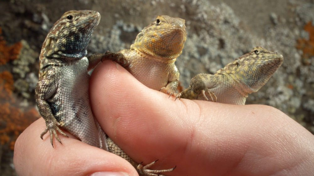 Image: side-blotched lizard being held by a researcher