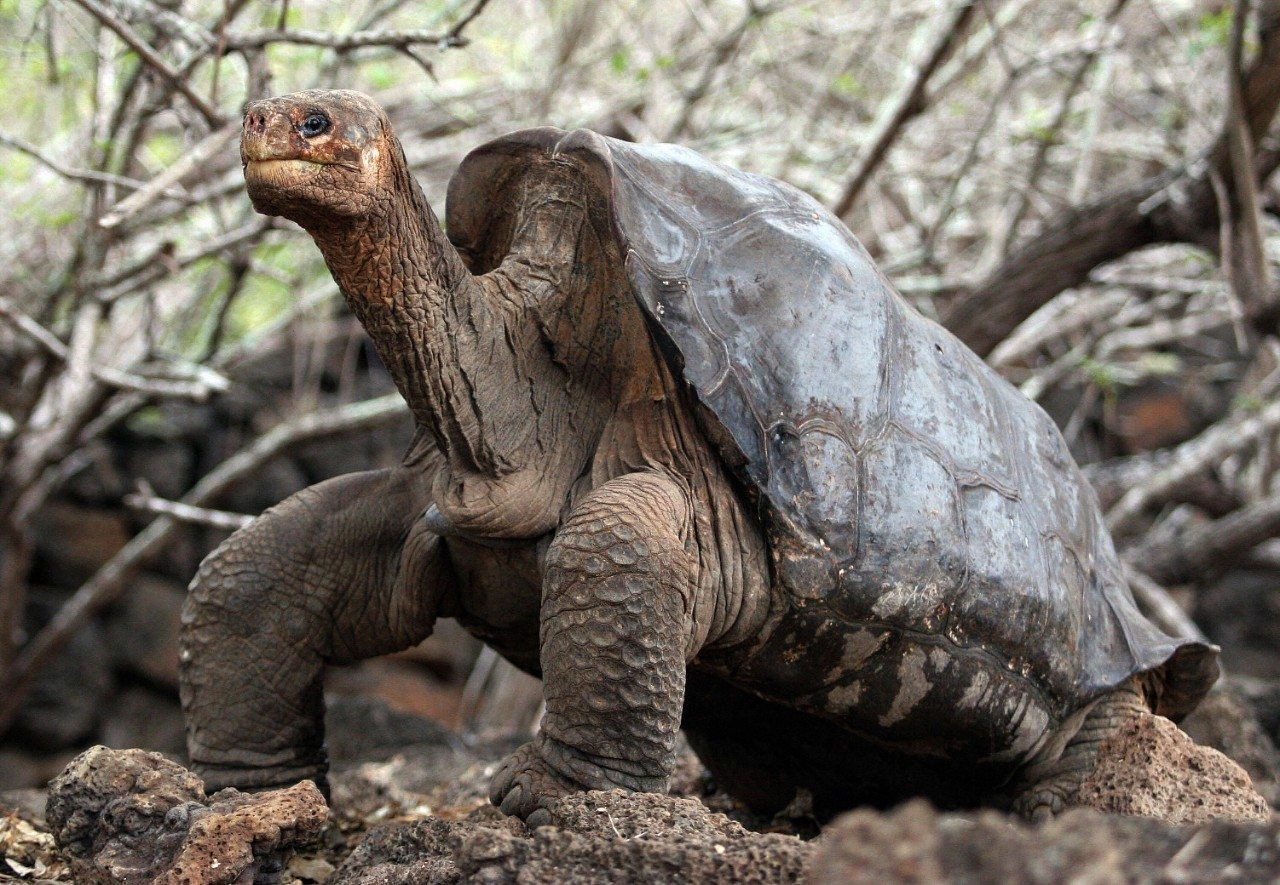 Image: Lonesome George the Pinta Island Turtle