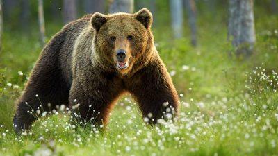 Image: European Brown Bear in forest meadow