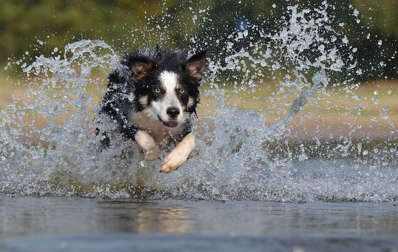 Image: Border Collie running through water
