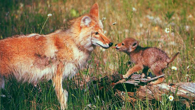Image: A baby coywolf with his mum. Hybrid species between a wolf and coyote.