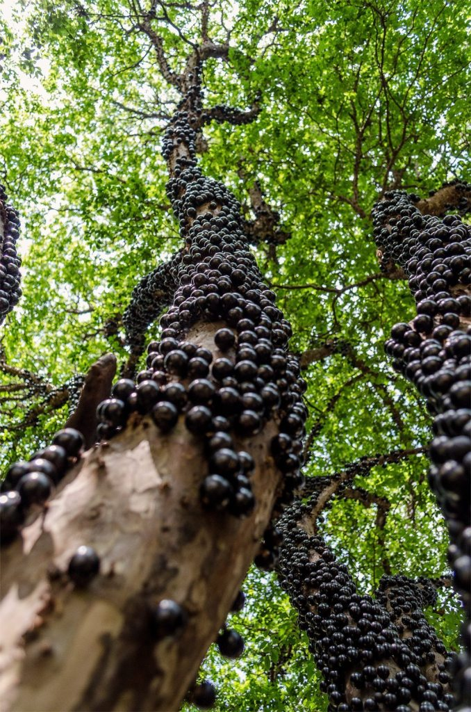 Image: An enormous tree trunk covered in huge purple balls