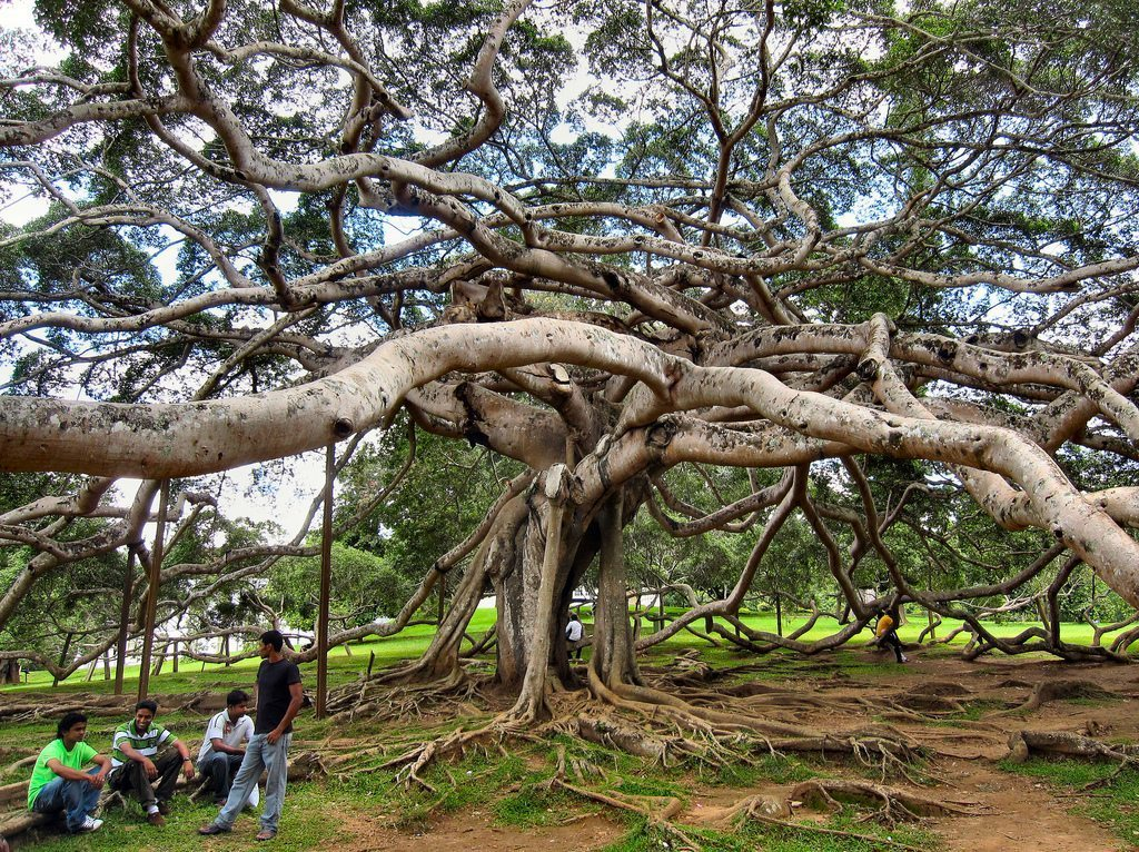Image: A great, sprawling tree with tendrils that go to the ground seemingly forever