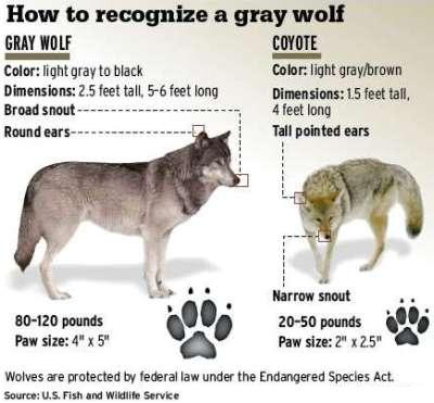 Image: Comparing wolves and coyotes to make a point that the coywolf is somehwere between these two animals