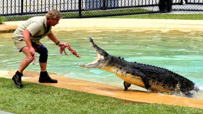 Image: Steve Irwin feeds a large crocodile