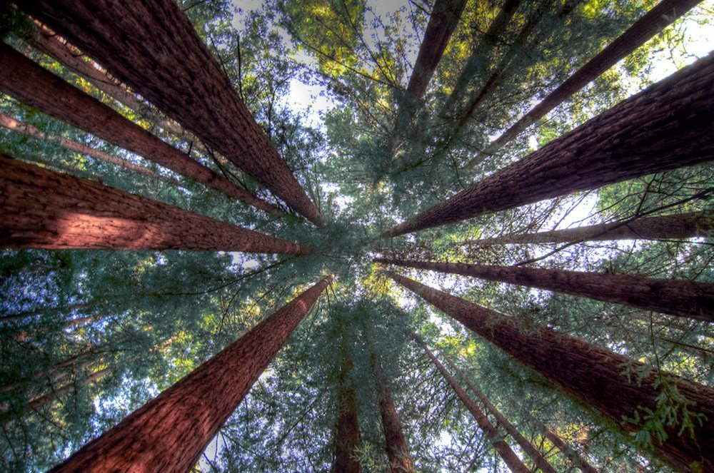 Image: Looking up at the Redwood forest, a mission to conserve the redwoods
